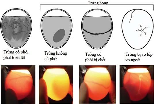 Image result for trứng gà không có trống